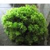 Palm Moss (Terrarium)