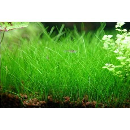 Eleocharis Parvula (dwarf hair grass) - Bulk (4 nos)