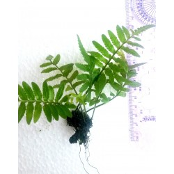 Indian Fern flame