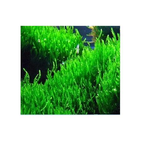 Flame Moss (Taxiphyllum sp)