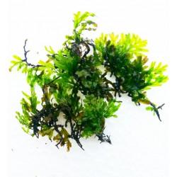Crepidomanes sp. fern