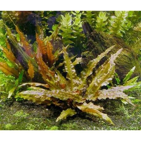 Cryptocoryne Wendtii Tropica Fins N Flora