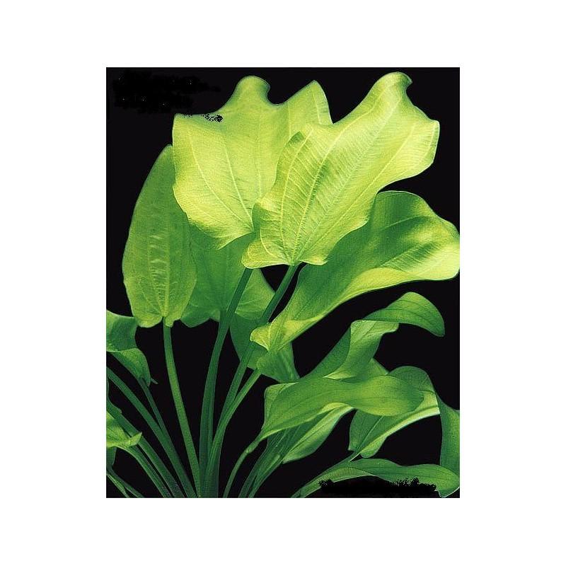Echinodorus Cordifolius Fins N Flora