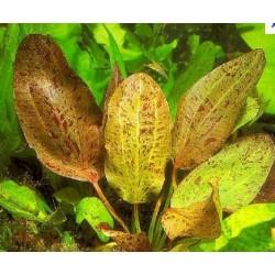 Echinodorus Ozelot