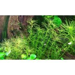 Myriophyllum Mezianum